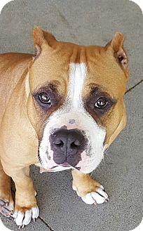 American Pit Bull Terrier Dog for adoption in Berkeley, California - Lois