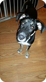 Terrier (Unknown Type, Medium) Mix Puppy for adoption in Hainesville, Illinois - Brin