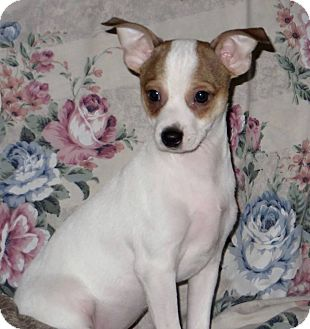 Rat Terrier/Shih Tzu Mix Puppy for adoption in Aiken, South Carolina - Rotor