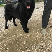 Flat-Coated Retriever/Labrador Retriever Mix Dog for adoption in Jackson, Mississippi - Newman