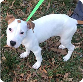Pit Bull Terrier Mix Puppy for adoption in Charlotte, North Carolina - Gretel