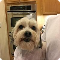 Lhasa Apso Mix Dog for adoption in Rancho Cucamonga, California - MOLLY