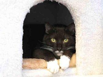 Domestic Mediumhair Cat for adoption in Hampton Bays, New York - SEA BUG