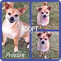 Adopt A Pet :: Preston - Snyder, TX