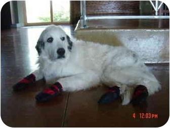 Great Pyrenees Dog for adoption in Mesa, Arizona - Sarah