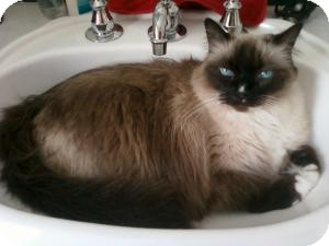 Himalayan Cat for adoption in Prescott, Arizona - Sassy