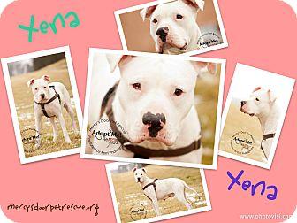 American Pit Bull Terrier/American Bulldog Mix Dog for adoption in Medina, Ohio - Xena