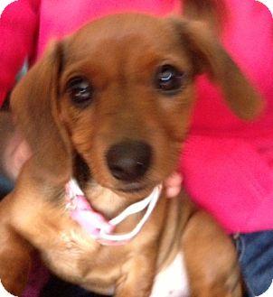 Dachshund Mix Puppy for adoption in Kalamazoo, Michigan - Lucy