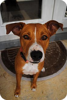 Labrador Retriever Mix Dog for adoption in Orlando, Florida - Quinn