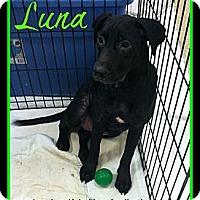 Adopt A Pet :: Luna - Plano, TX