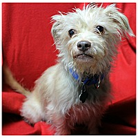 Adopt A Pet :: Sylvester - Forked River, NJ