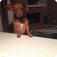 Adopt A Pet :: GINGER - EDEN PRAIRIE, MN
