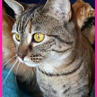 Domestic Shorthair Cat for adoption in St. Louis, Missouri - Six (Courtesy Posting)