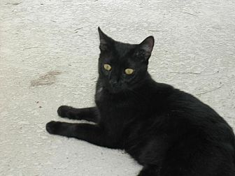 Domestic Shorthair Cat for adoption in Naples, Florida - Clive
