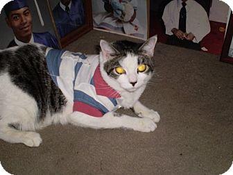 Domestic Shorthair Cat for adoption in Brooklyn, New York - Zinny