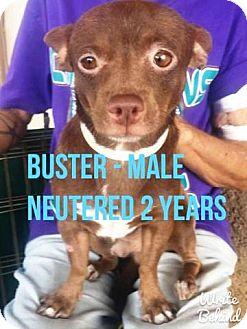 Chihuahua Mix Dog for adoption in Gilbert, Arizona - Buster