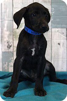 Labrador Retriever Mix Puppy for adoption in Waldorf, Maryland - Ruger