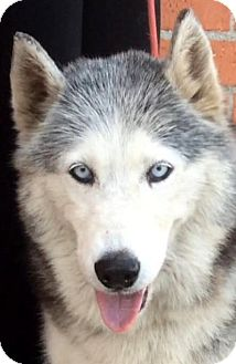 Husky Dog for adoption in Los Angeles, California - PERLA (video)
