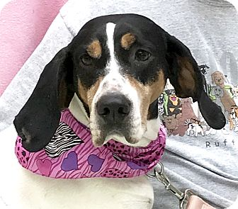 Hound (Unknown Type) Mix Dog for adoption in Evansville, Indiana - Cassidy