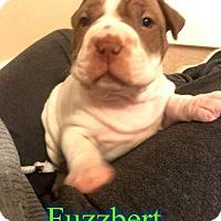 Adopt A Pet :: Fuzzbert - Pensacola, FL