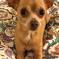 Chihuahua Dog for adoption in Long Beach, New York - Sadie