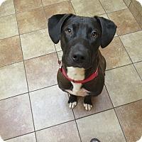 Adopt A Pet :: Pharoah - Appleton, WI