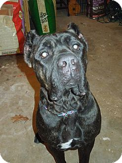 Cane Corso Dog for adoption in Virginia Beach, Virginia - Ella-NJ