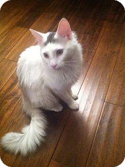 Turkish Angora Cat for adoption in Arlington, Virginia - Freddy (Adoption Pending)