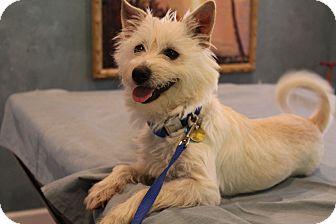 Westie, West Highland White Terrier/Pomeranian Mix Puppy for adoption in Hamburg, Pennsylvania - Charlotte