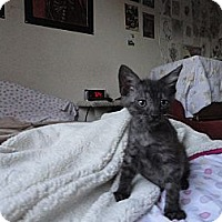 Adopt A Pet :: Charcoal - Phoenix, AZ