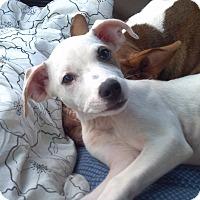 Adopt A Pet :: Sugar Pie - Orange Lake, FL