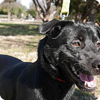 Adopt A Pet :: Tommy - Austin, TX