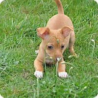 Adopt A Pet :: Sugar - Tumwater, WA