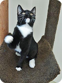 Domestic Shorthair Kitten for adoption in Chambersburg, Pennsylvania - Lilith