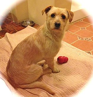 Corgi/Terrier (Unknown Type, Small) Mix Dog for adoption in Los Angeles, California - Little Timmy