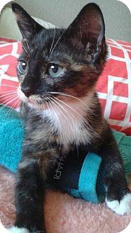 Domestic Mediumhair Cat for adoption in West Palm Beach, Florida - Dora