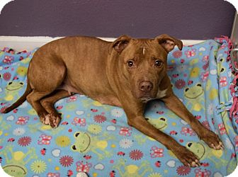 Pit Bull Terrier Mix Dog for adoption in Lisbon, Ohio - Peaches