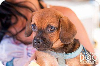Dachshund/Pug Mix Puppy for adoption in Minneapolis, Minnesota - Tuffy