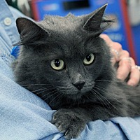 Domestic Mediumhair Cat for adoption in St. Louis, Missouri - Autumn