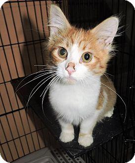 Domestic Shorthair Cat for adoption in Rochester, Minnesota - Jello Bear