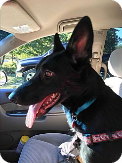 Shepherd (Unknown Type) Mix Dog for adoption in kennebunkport, Maine - Rory - in Maine