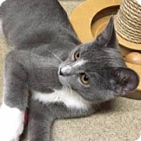 Adopt A Pet :: Kitten Kaboodle - Los Angeles, CA