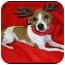 Photo 1 - Jack Russell Terrier Dog for adoption in Omaha, Nebraska - Maggie