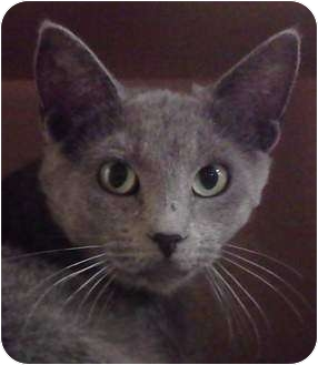 Domestic Shorthair Cat for adoption in McHenry, Illinois - Hera