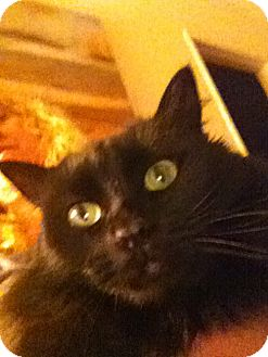 Domestic Mediumhair Cat for adoption in Laguna Woods, California - Awesome Spirit