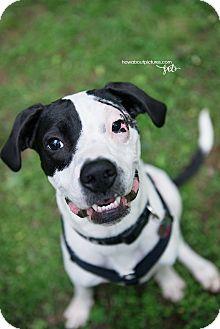 Great Dane/Boston Terrier Mix Dog for adoption in Atlanta, Georgia - MacLovin