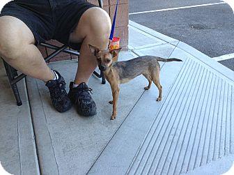 Chihuahua Mix Dog for adoption in Scottsdale, Arizona - Cathy