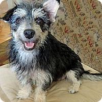 Adopt A Pet :: Polly - La Habra Heights, CA