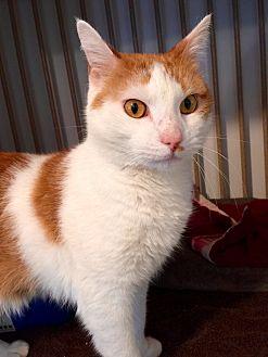 Domestic Shorthair Cat for adoption in Hanna City, Illinois - Bandit