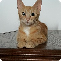 Adopt A Pet :: Amber - Sunderland, ON